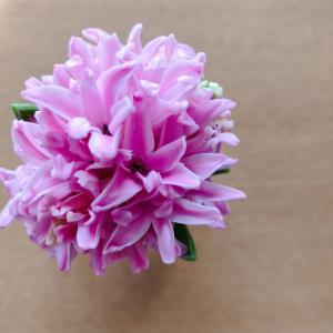 ヒヤシンス開花