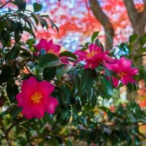 山茶花と紅葉、秋の饗宴