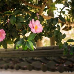 神社に咲く乙女な山茶花