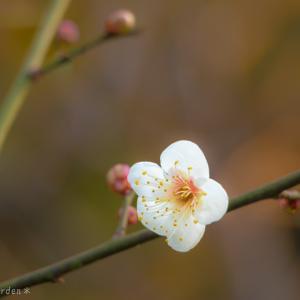 梅が咲き始めました♪