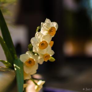 水仙が咲いていました♪