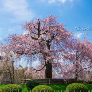 円山公園の大枝垂桜