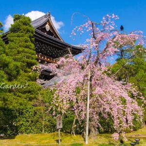 知恩院 友禅苑の美幸桜
