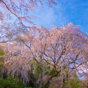 桜に覆われた天龍寺