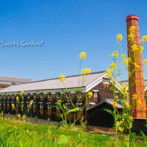 菜の花と松本酒造