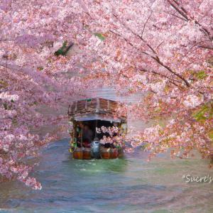 伏見の桜と十石舟