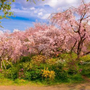 百花繚乱♪ 桜の原谷苑<後篇>