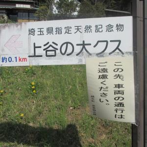 埼玉県指定特別天然記念物「上谷の大クス」(埼玉県越生町)