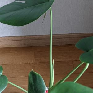 モンステラから新しい葉っぱ