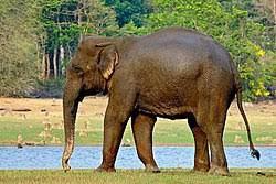 ・象の足のマンエフェ