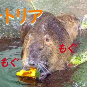 ヌートリアのもぐもぐタイム@姫路市立水族館