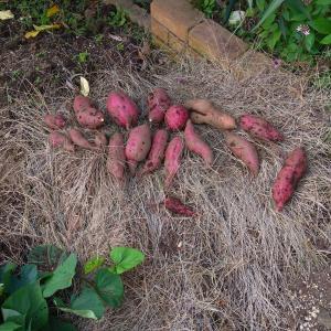 【家庭菜園】2020 サツマイモ収穫しました