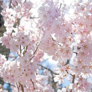 冴子さんと私と桜の季節(創作百合小説)