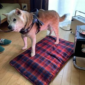 柴犬(16歳)のサナモア体験 【足・腰の痛み】