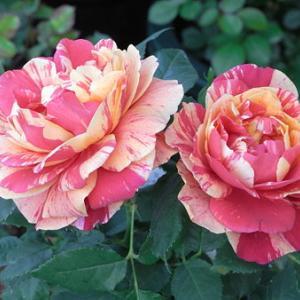 ミニ薔薇と薔薇