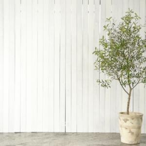 【初心者でも大丈夫】室内でのオリーブの木の育て方【観葉植物】