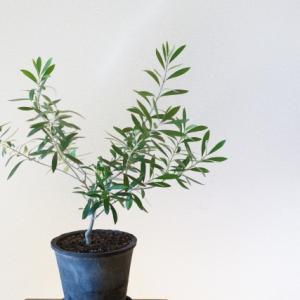 【室内・ベランダ】省スペース向きオリーブの木の品種7選+番外編