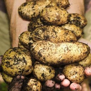 春ジャガイモは男爵やメークインだけではない!おすすめ品種の種芋紹介
