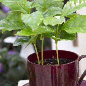 コーヒーノキ(コーヒーの木)の葉が冬に落ちる5つの原因。その対処方法。