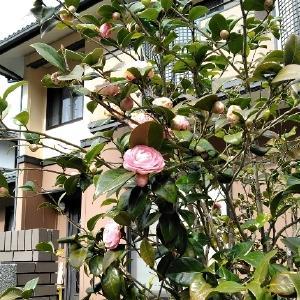 寒椿の花がやっと増えてきた