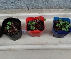 キャベツの芽が育ってきた もう芽が出ないと思っていた種も