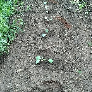 キャベツの苗 その後