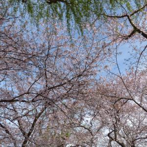 桜を撮ってきました(4)