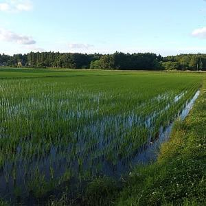 最近の田んぼの風景