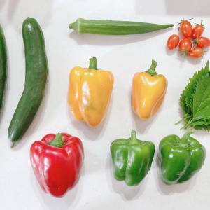 【プランター家庭菜園】パプリカが!詰め合わせ弁当でいってきます