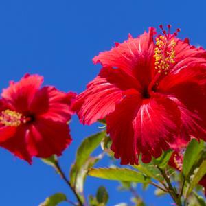 沖縄の花と言えば「ハイビスカス」