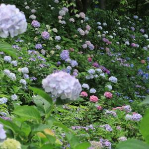 絶景!大阪の紫陽花の名所や穴場スポットまとめてみました!