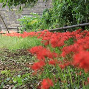 あるある彼岸花(ヒガンバナ)!北海道東北で見られる名所やお散歩穴場スポットまとめ!