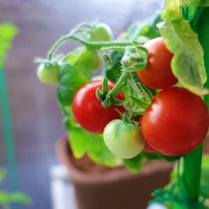 ミニトマト再びの収穫期!「リトルガーデンプロ ミニトマト 栽培キット」