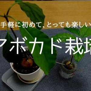 【100円でスタート】アボカド栽培で簡単観葉植物。種を植えるのに最適の時期が外れても大丈夫。