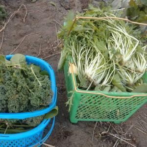 今日の収獲!チンゲンサイ・小松菜・うぐいす菜・ミズナ・ほうれん草・レタス・ケールの収獲