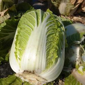 今日の収獲!冬越し白菜の収獲、残り26個