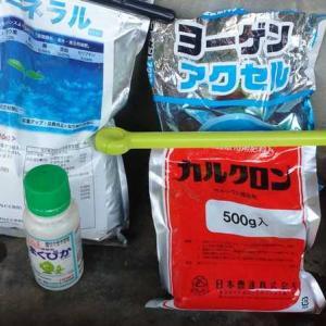 ニンニクと玉ねぎに液肥・ニネラル・カルシウムの葉面散布!