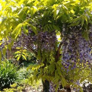 我が家の盆栽の様な藤が今年も咲いた!