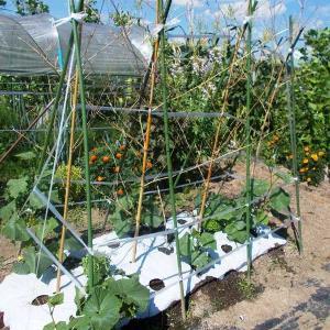 きゅうりの追肥と稲わらで暑さと泥はね防止対策