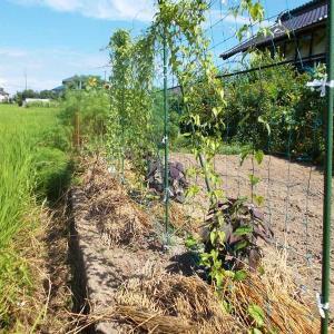 つくね芋に追肥と乾燥防止のため稲わらを敷いた