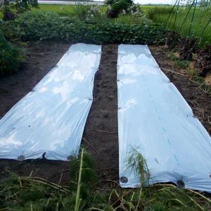 ブロッコリーとキャベツの植え床のマルチ張り