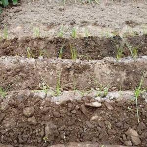 らっきょうの追肥と土寄せ!
