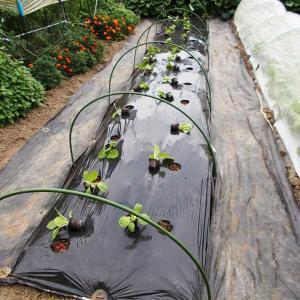 90日白菜の定植!ジフィーポットでしっかり活着