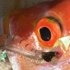 【シュリンプ クリア】レンコダイは釣れますか?