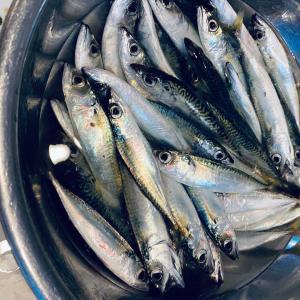 堺刀司のウロコとり、、、連日魚釣りに。