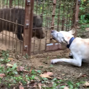 【箱罠3連発】イノシシにケガをさせられた猟犬のリハビリ・訓練