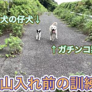 野良犬をイノシシに通用する猟犬として訓練してみる