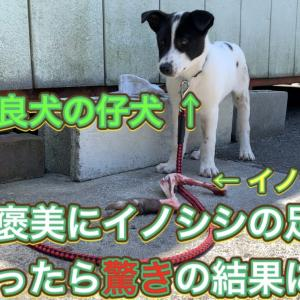 野良犬の仔犬にイノシシの足をやったら驚きの結果に…