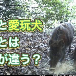 猟犬の散歩について