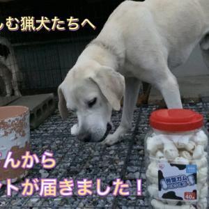 猟犬カシンへ視聴者さんからまさかの贈り物。猟犬見習いタイガーはおこぼれで初めてのオヤツをもらう!